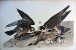 Great Footed Hawk, Falco Peregrinus by John James Audubon